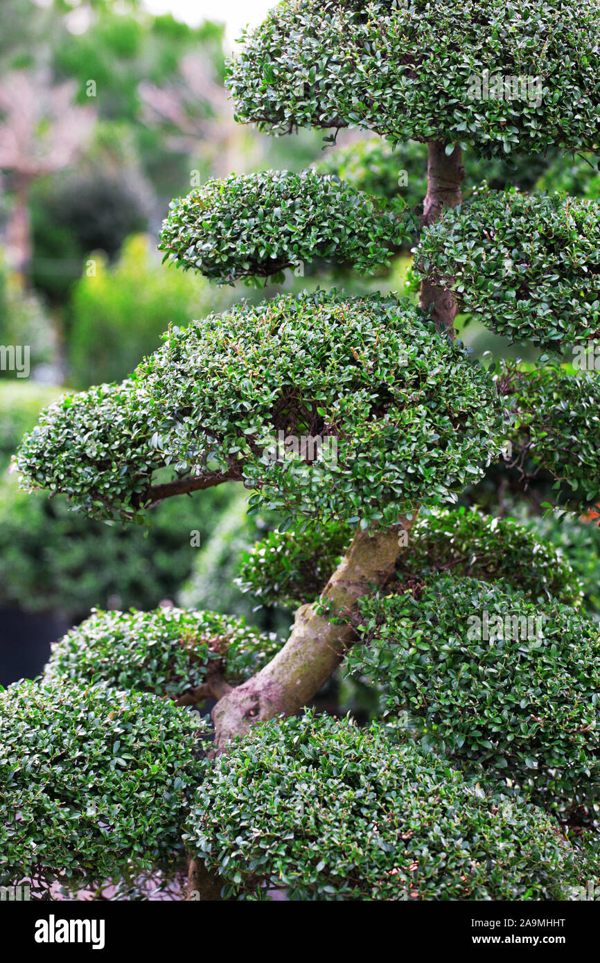 Ilex Crenata Golden Gem japanese holly ilex crenata stock photos & japanese holly