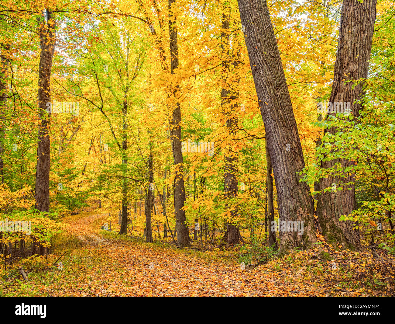 East coast fall color. Golden yellow autumn leaves carpet a hiking trail in Westchester County New York, Rockefeller State Park Preserve, Pleasanville Stock Photo