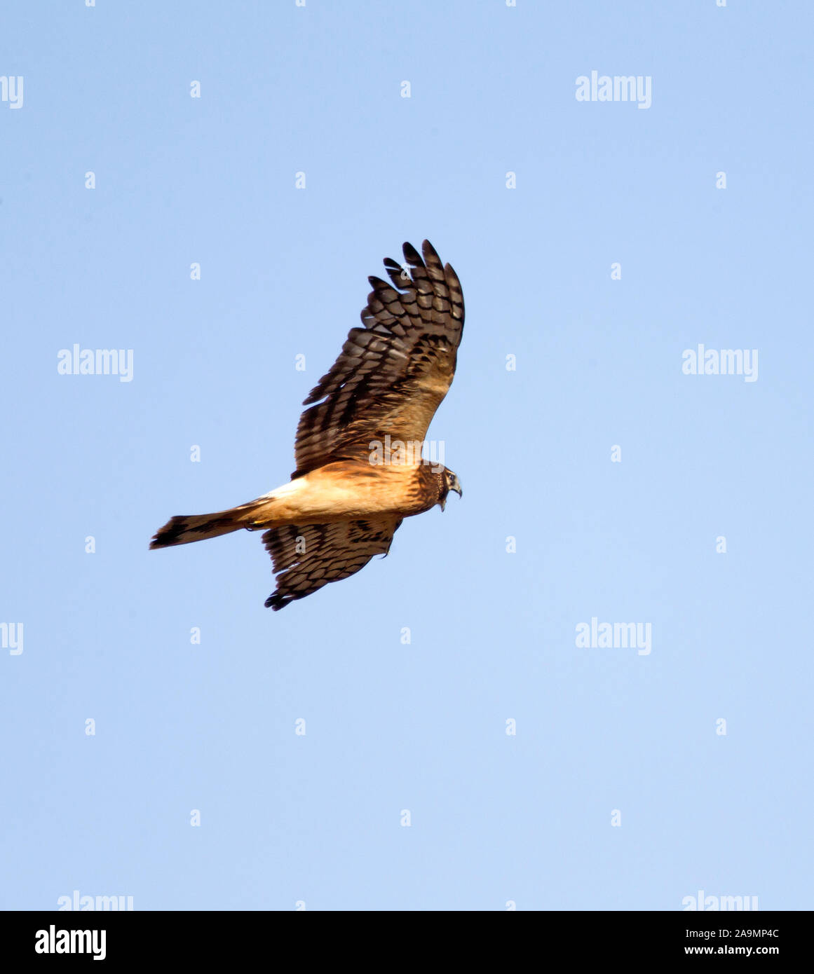 Northern Harrier in Flight Stock Photo