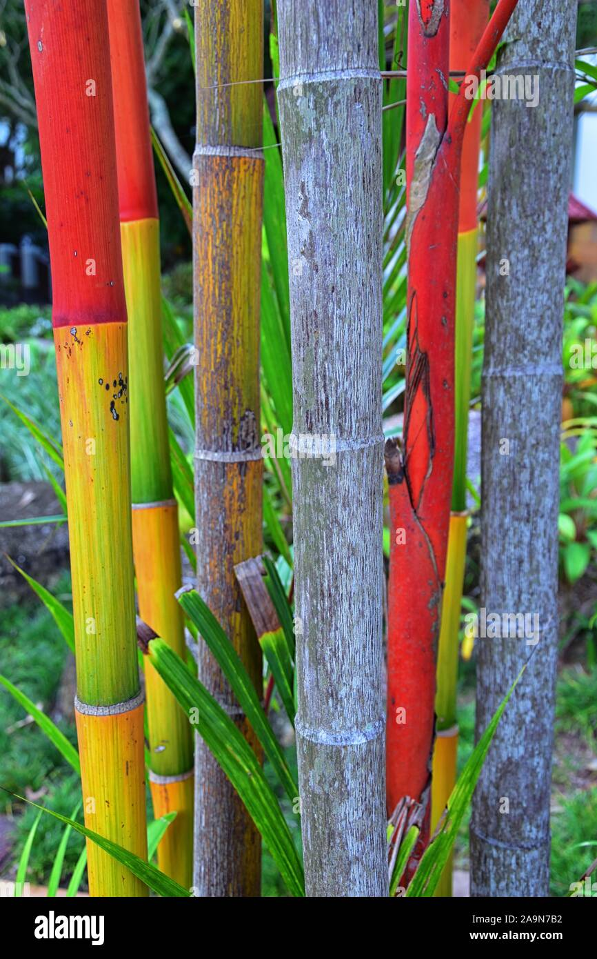 Bamboo Forest Background Multi Color Bright Red Green Orange Yellow Bamboo Plant Bamboo Trees In Wood On Resort In Phuket Thailand Asia Stock Photo Alamy
