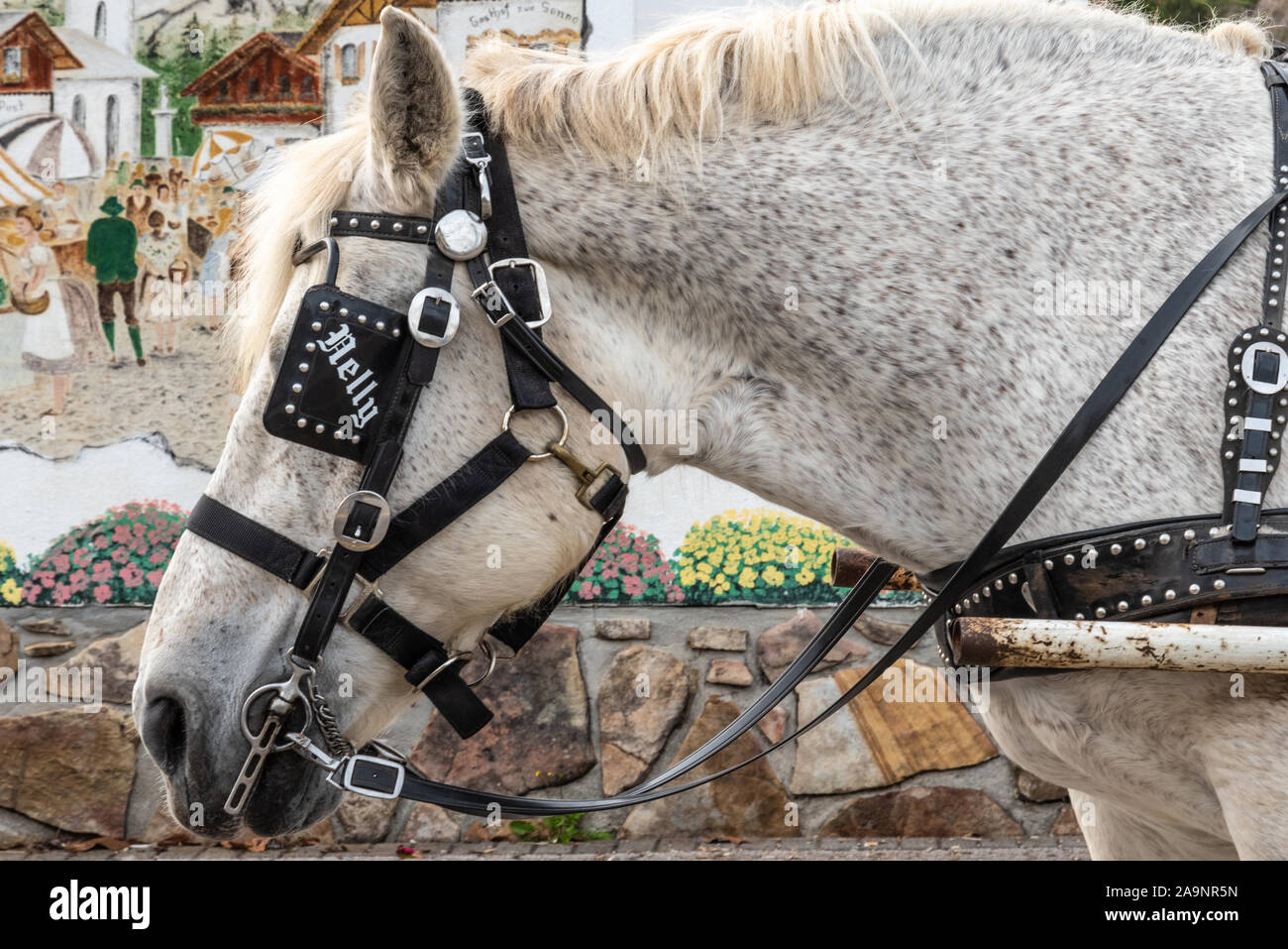Nelly, harnessed for horse-drawn carriage rides, in the Alpine village modeled town of Helen, Georgia in the Blue Ridge Mountains. (USA) Stock Photo