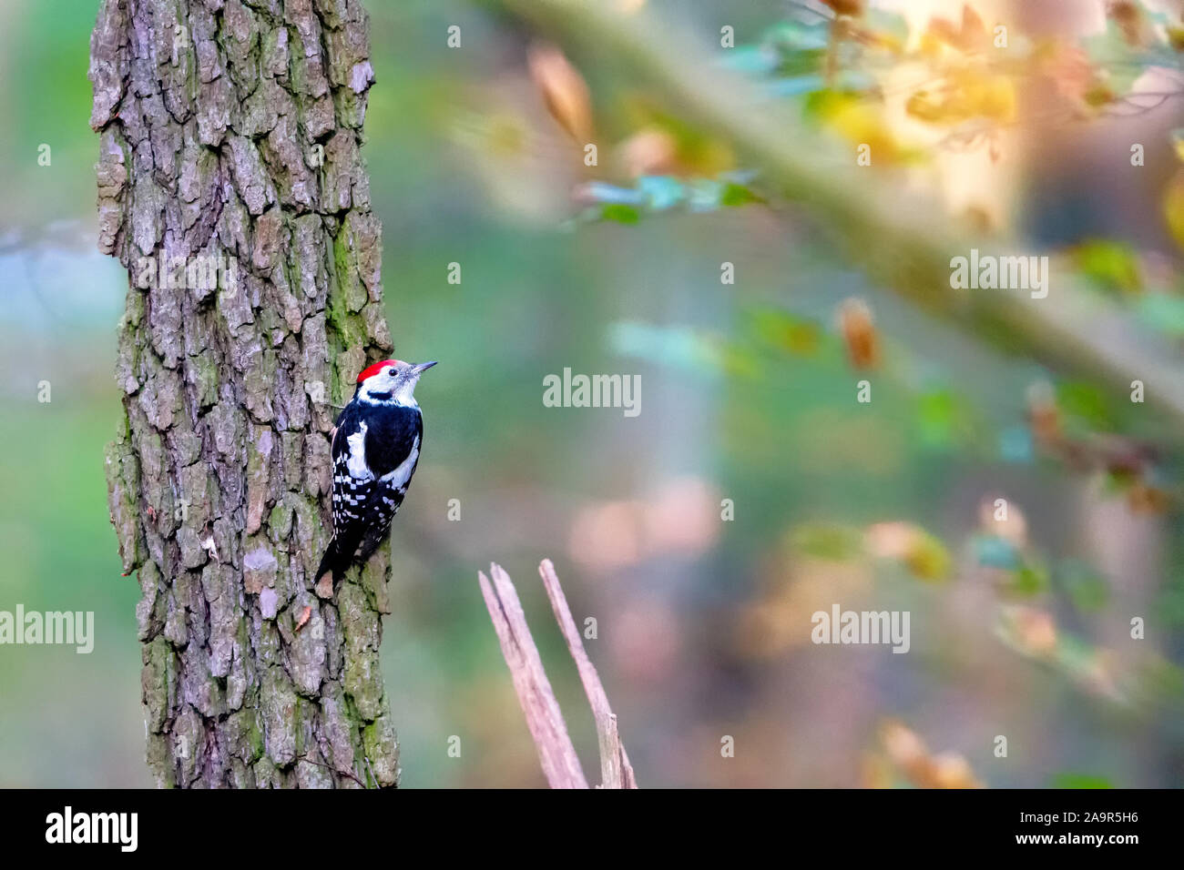 Middle spotted woodpecker (Dendrocoptes medius) sitting on a tree trunk in the nature protection area Moenchbruch near Frankfurt, Germany. Stock Photo