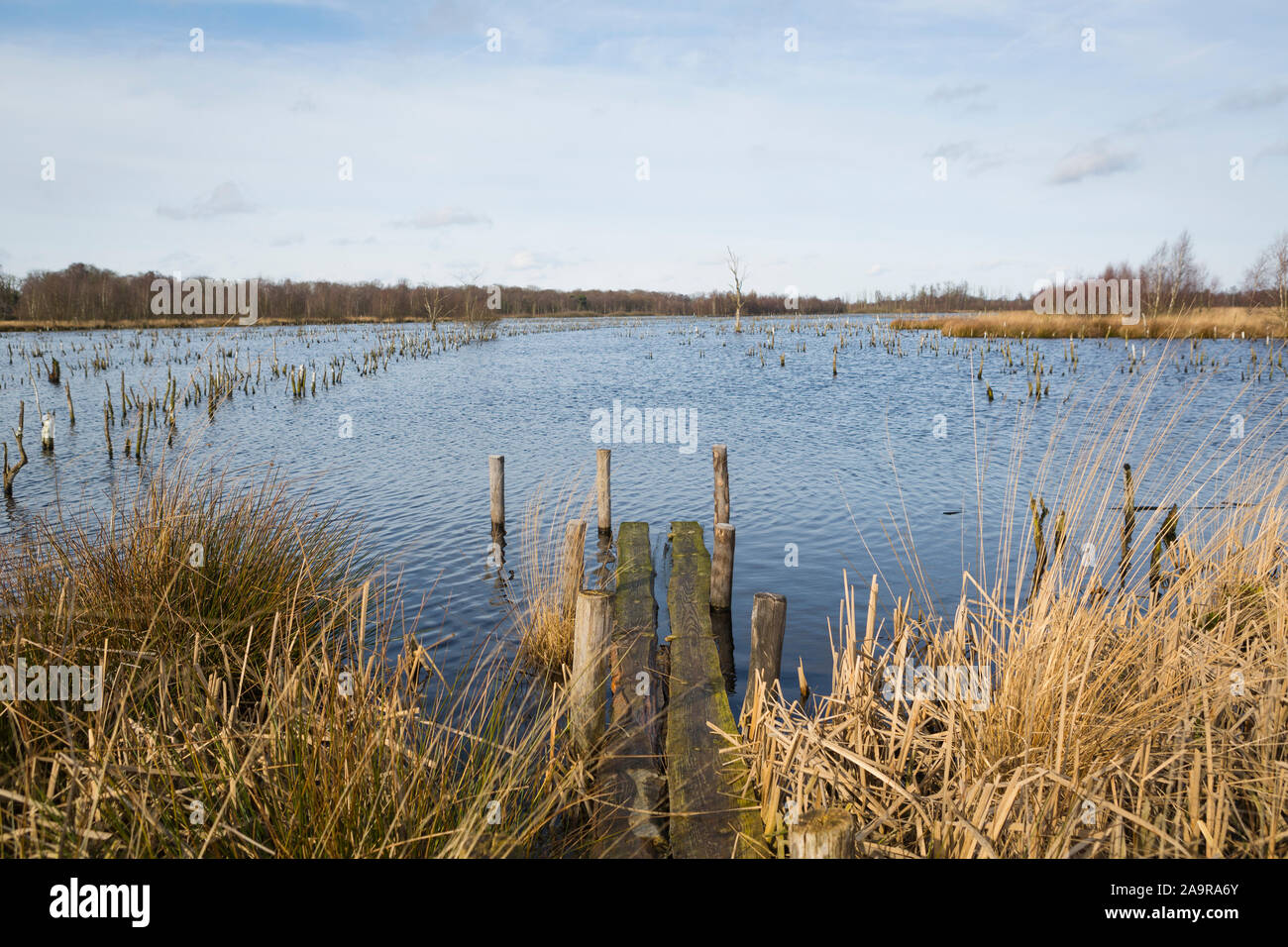 """Stumps of dead trees at wetland nature reserve """"Mariapeel"""" with raised water level, nature being restored in the Netherlands Stock Photo"""