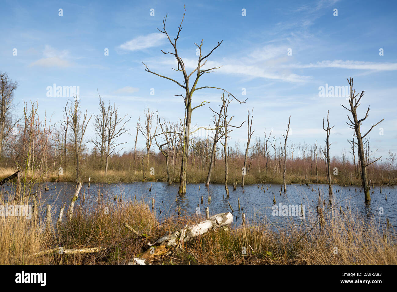 """Dead tree trunks at wetland nature reserve """"Mariapeel"""" with raised water level, nature being restored in the Netherlands Stock Photo"""