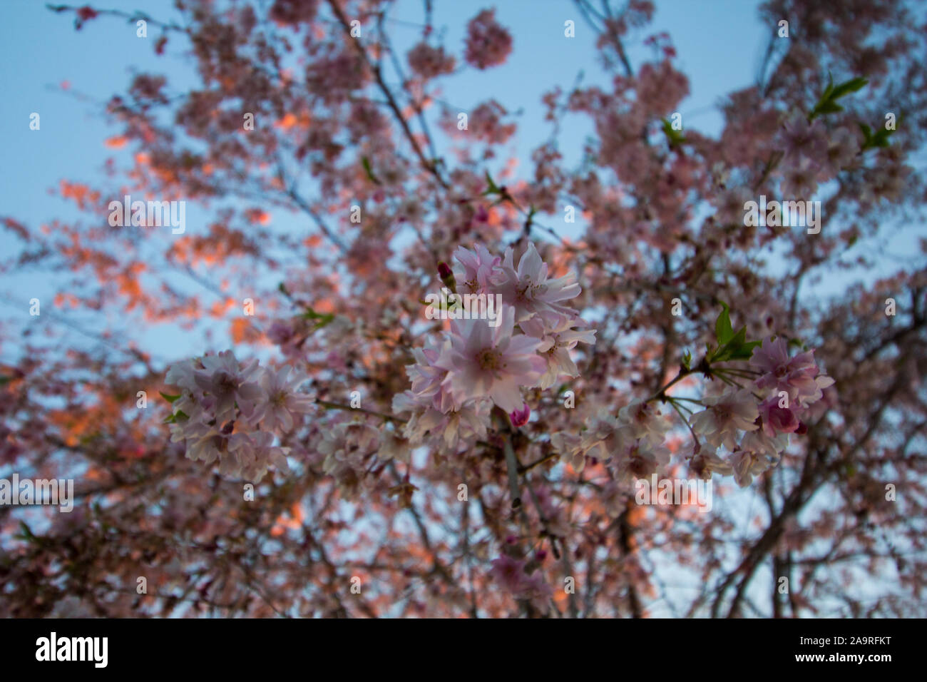 Weeping Cherry Tree Blooming In Spring Stock Photo 333046108 Alamy