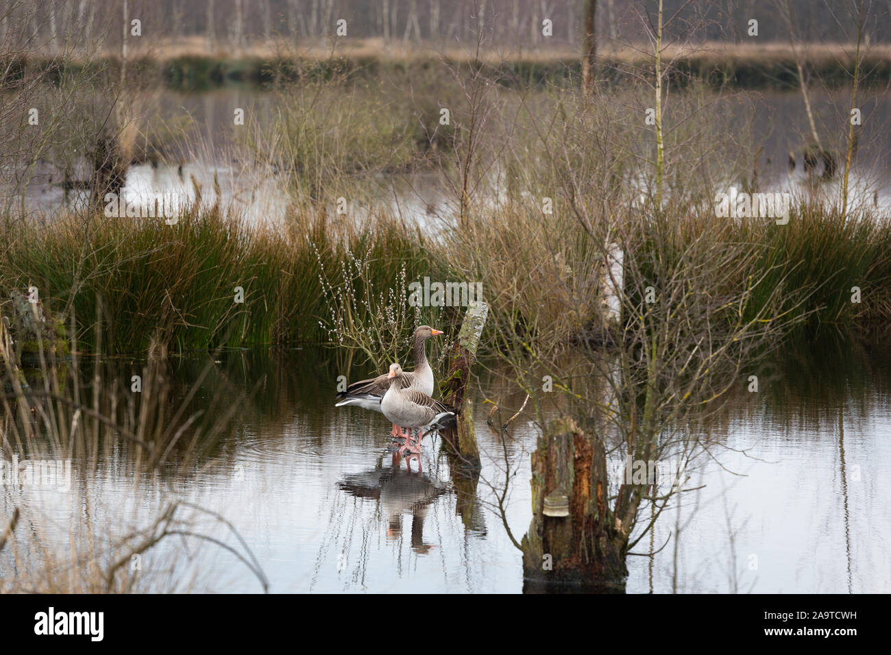 """Grey lag geese at a fen at nature reserve """"Mariapeel"""", de Peel, province Noord-Limburg, the Netherlands Stock Photo"""