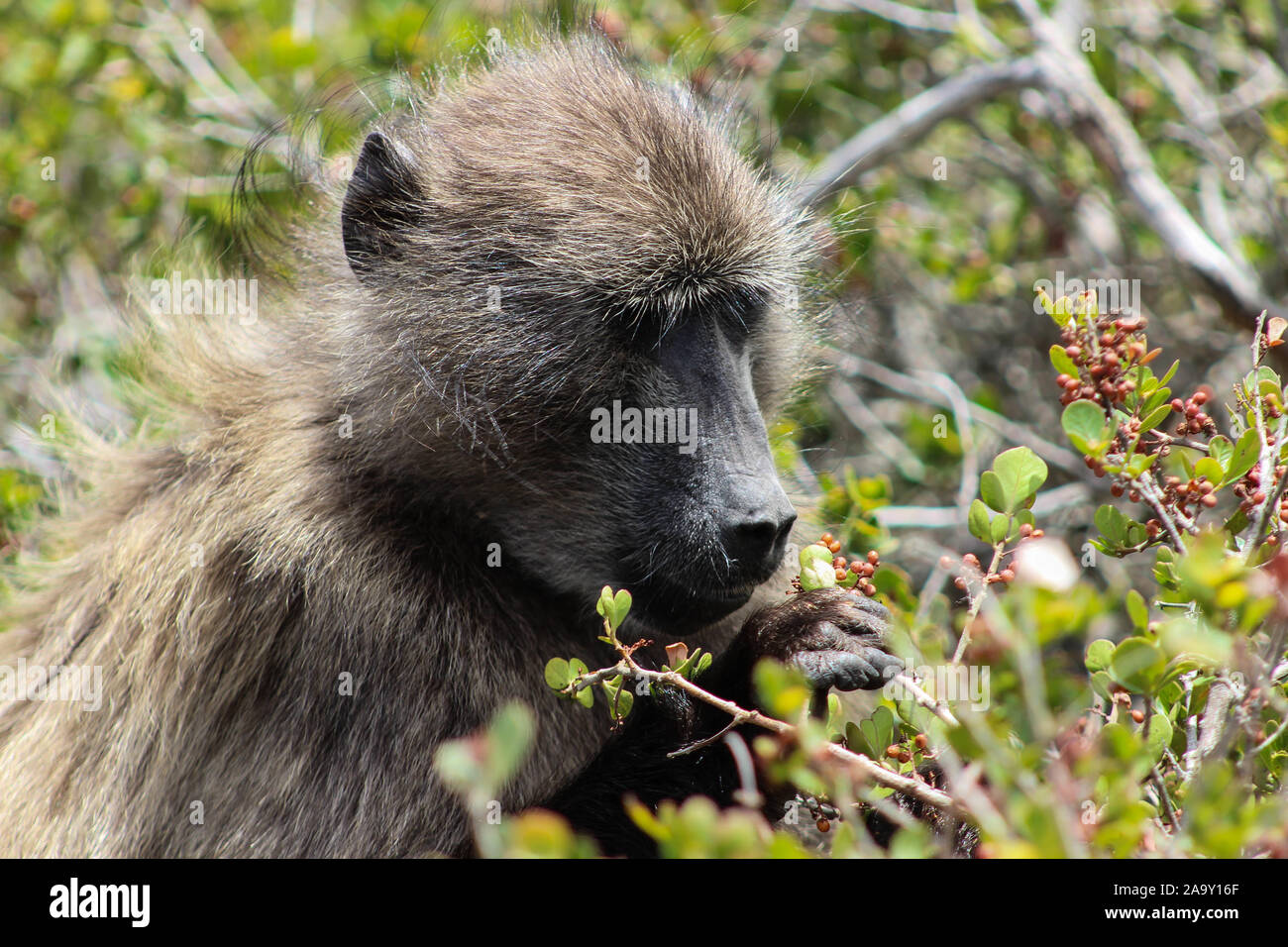 Baboon picks berries from the bush Stock Photo