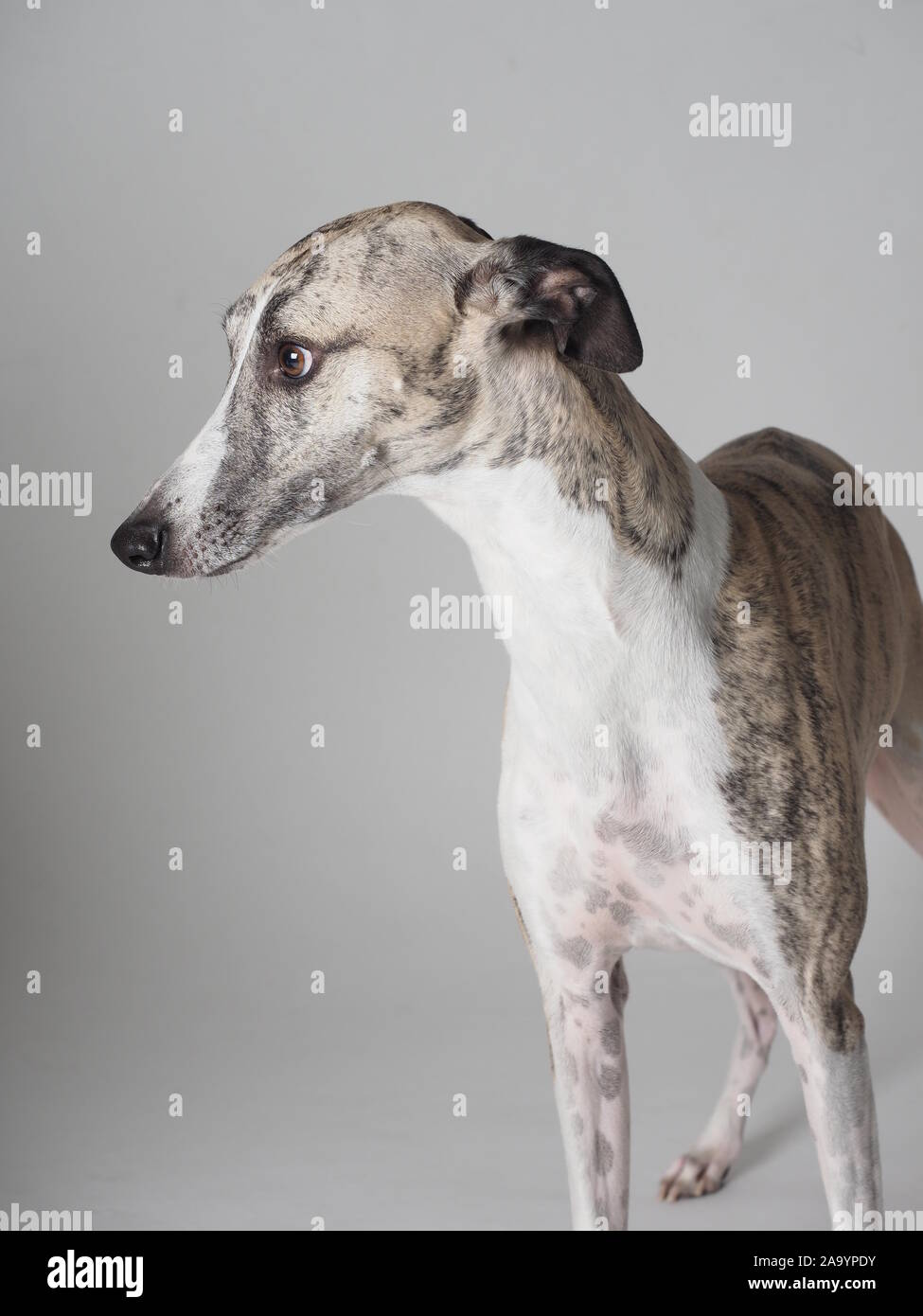 Portrait Whippet adult purebred dog tabby and white Stock Photo