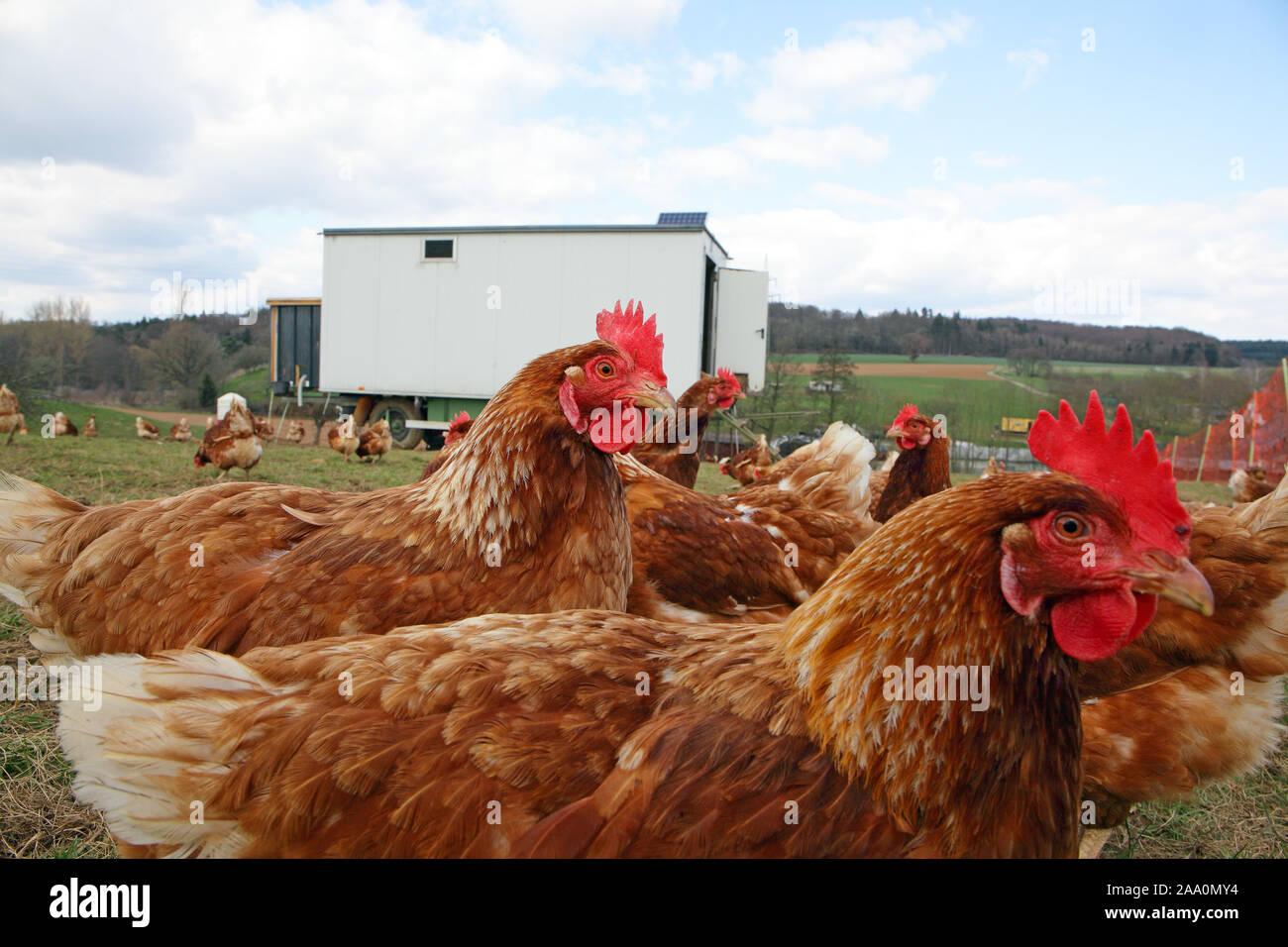 Hühner in Freilandhaltung mit Auslauf auf einer Wiese. Im Hintergrund steht ein mobiles Hühnerhaus. Stock Photo