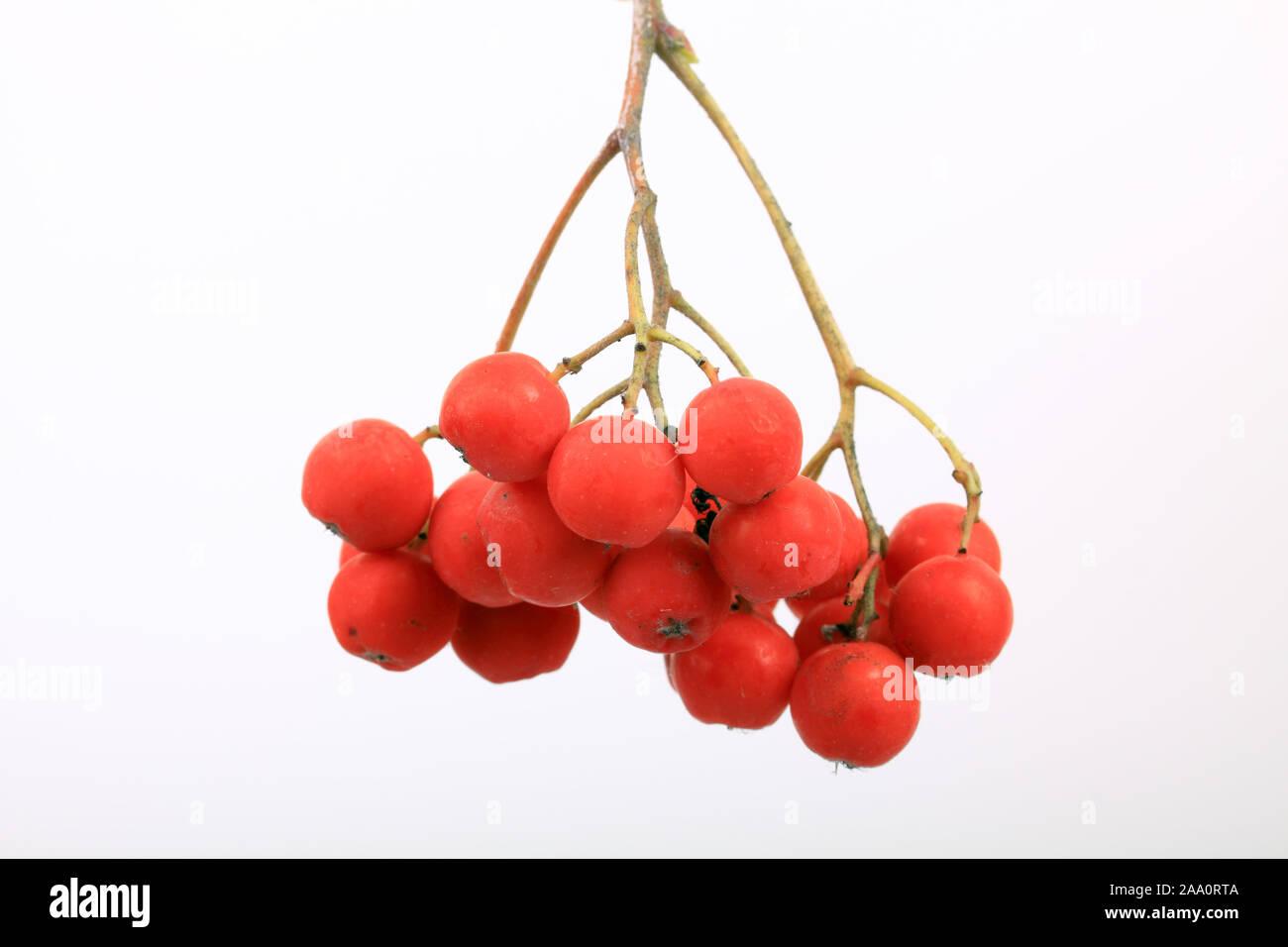 Früchte der Vogelbeere oder Eberesche (Sorbus aucuparia), Freisteller. Stock Photo