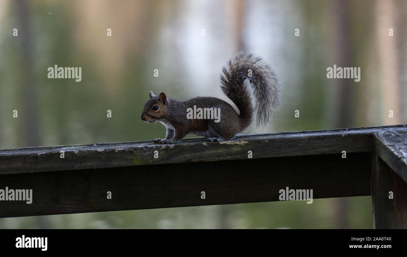 squirrel on rail Stock Photo