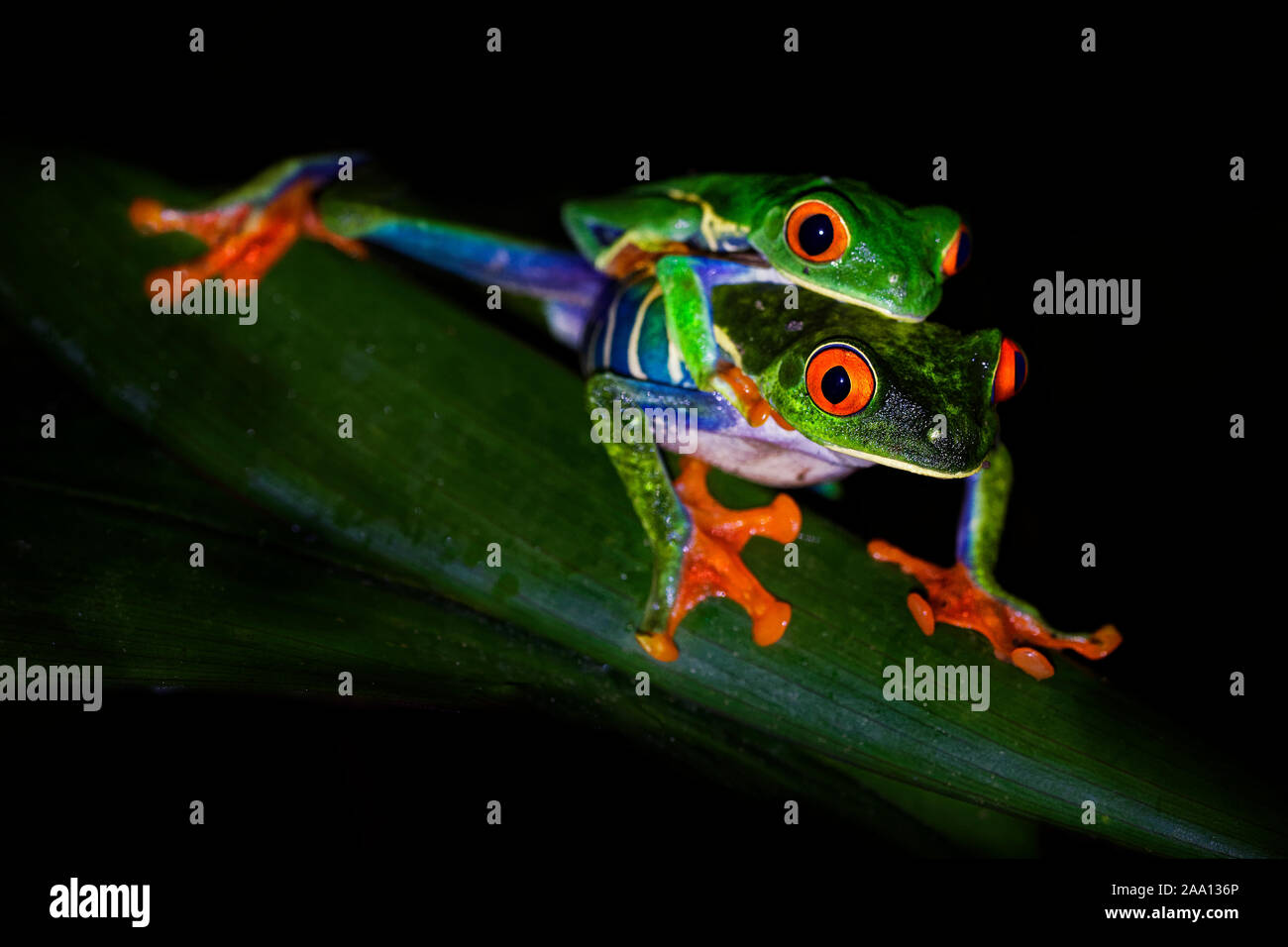 Red-eyed Tree Frog - Agalychnis callidryas arboreal hylid native to Neotropical rainforests from Mexico, Central America to Colombia, two frogs mating Stock Photo