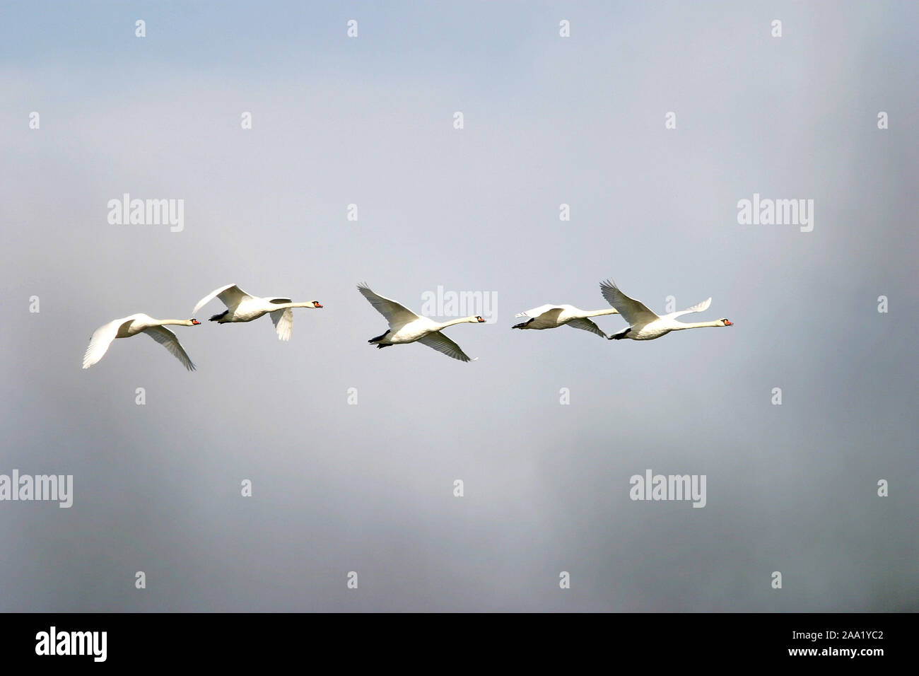 Fliegende Höckerschwäne (Cygnus olor) / Flying mute swans (Cygnus olor) Stock Photo