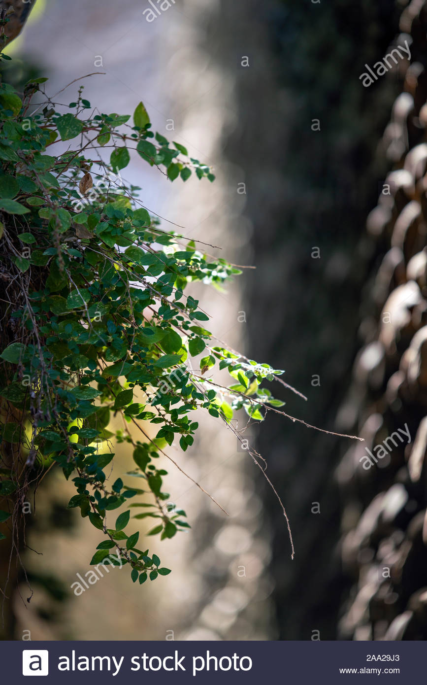 Vegetation growing between two very narrow pebble stone walls Stock Photo