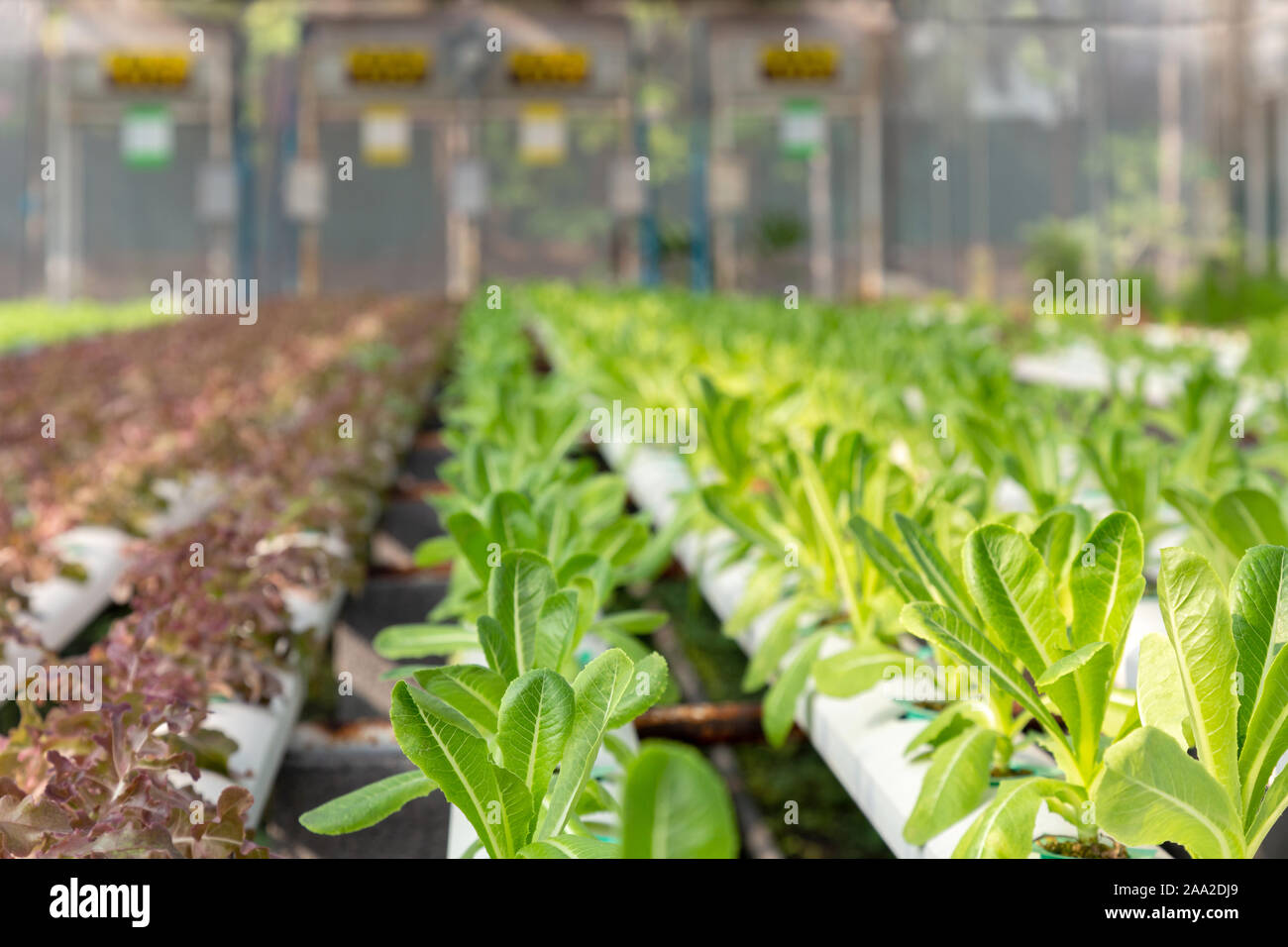 fresh young organic green cos lettuce and red oak lettuce plant are growing on the water without soil in the hydroponic system at vegetable salad farm Stock Photo