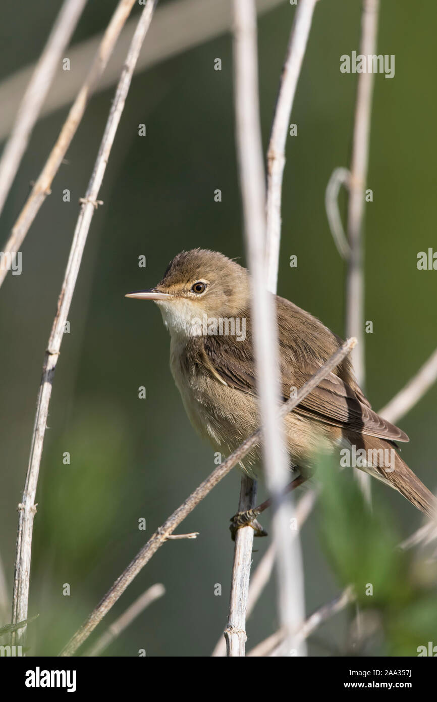 Side View Close Up Of A Wild Uk Reed Warbler Acrocephalus Scirpaceus Isolated Outdoors Perched On Water Reeds In Summer Sunshine Stock Photo Alamy