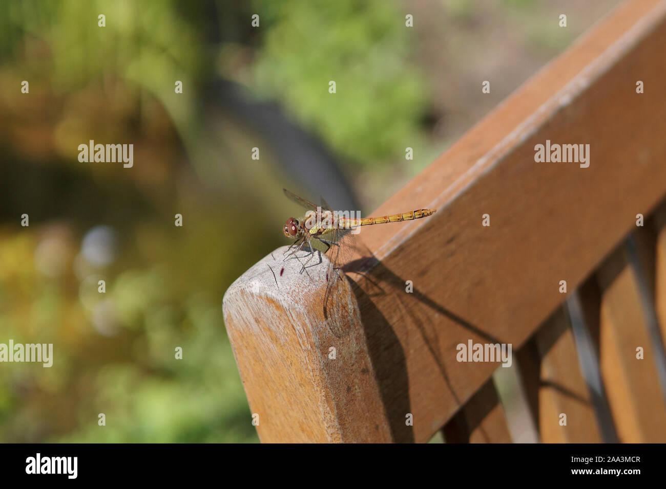 Common darter dragonfly (Sympetrum striolatum) on a chair, England, United Kingdom Stock Photo