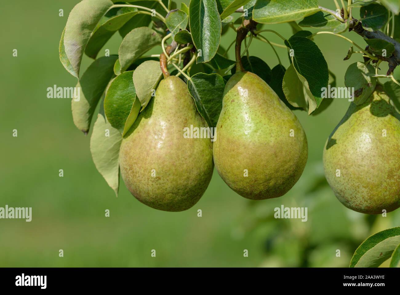 Birne (Pyrus communis XENIA) Stock Photo