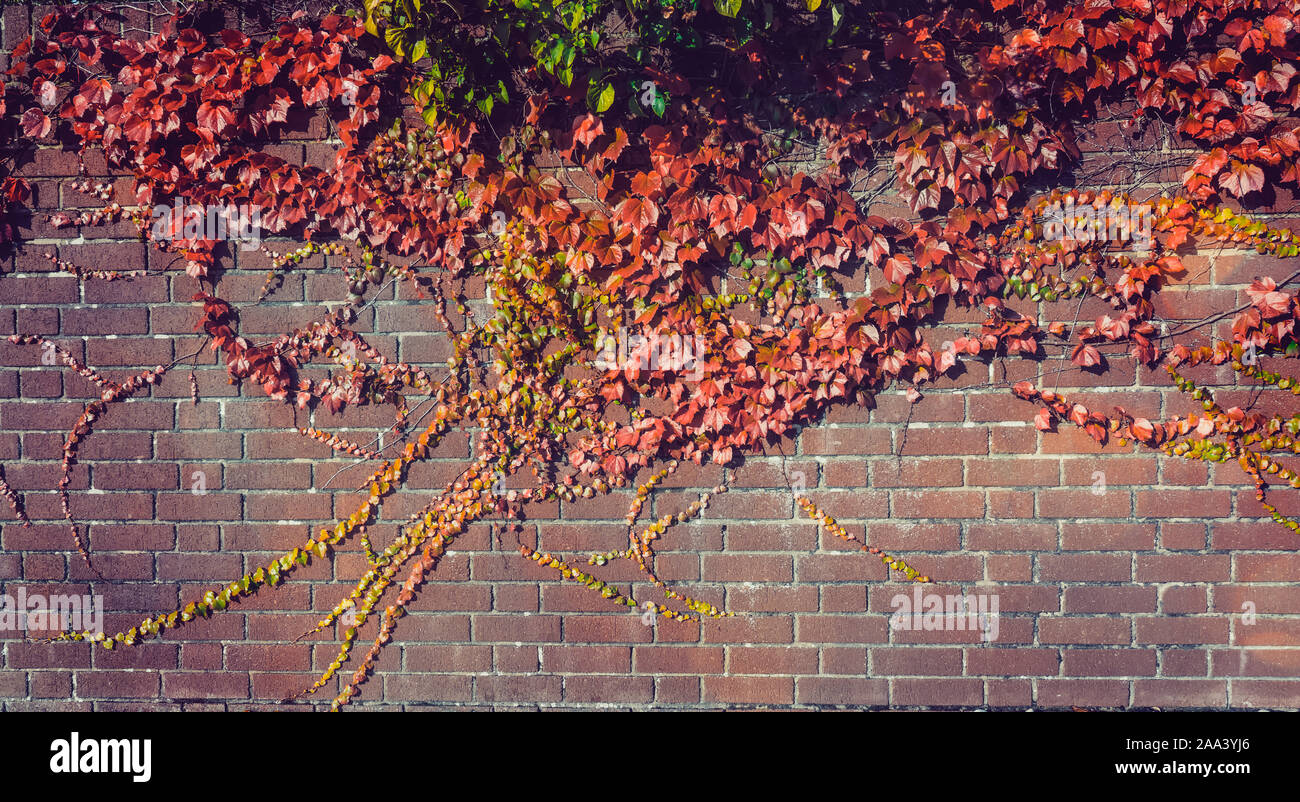 Climbing grape plant with red ivy leaves in fall on the old brick wall. Autumn seasonal background. Vintage toning. Wide banner. Copy space Stock Photo