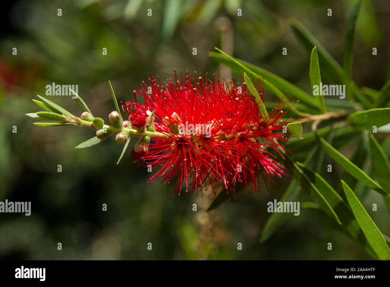 Callistemon viminalis or weeping bottlebrush tree showing red inflorescences and leaves, Kenya, East Africa Stock Photo