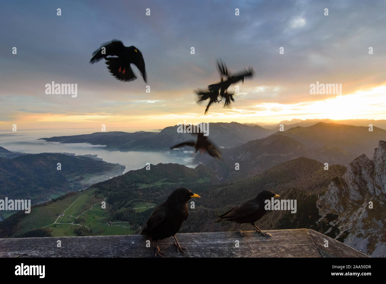 Sankt Gilgen: view from mountain Schafberg to lake Attersee (with fog clouds above the water), summit Spinnerin, bird Alpine chough (Pyrrhocorax gracu Stock Photo