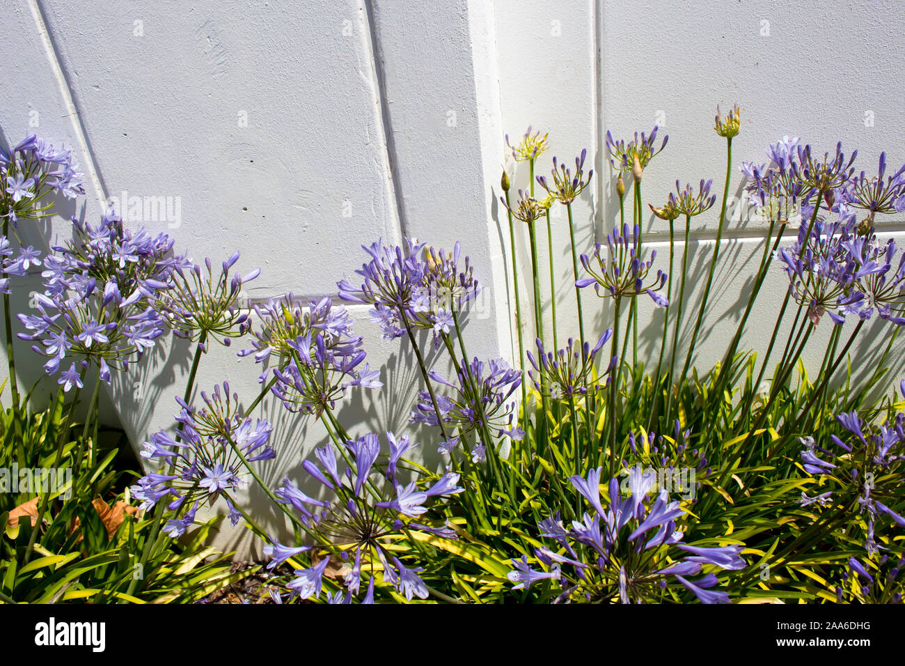 Stately purple agapanthus Lily of the Nile  genus in subfamily Agapanthoideae of plant family Amaryllidaceae contrasted against a concrete wall . Stock Photo