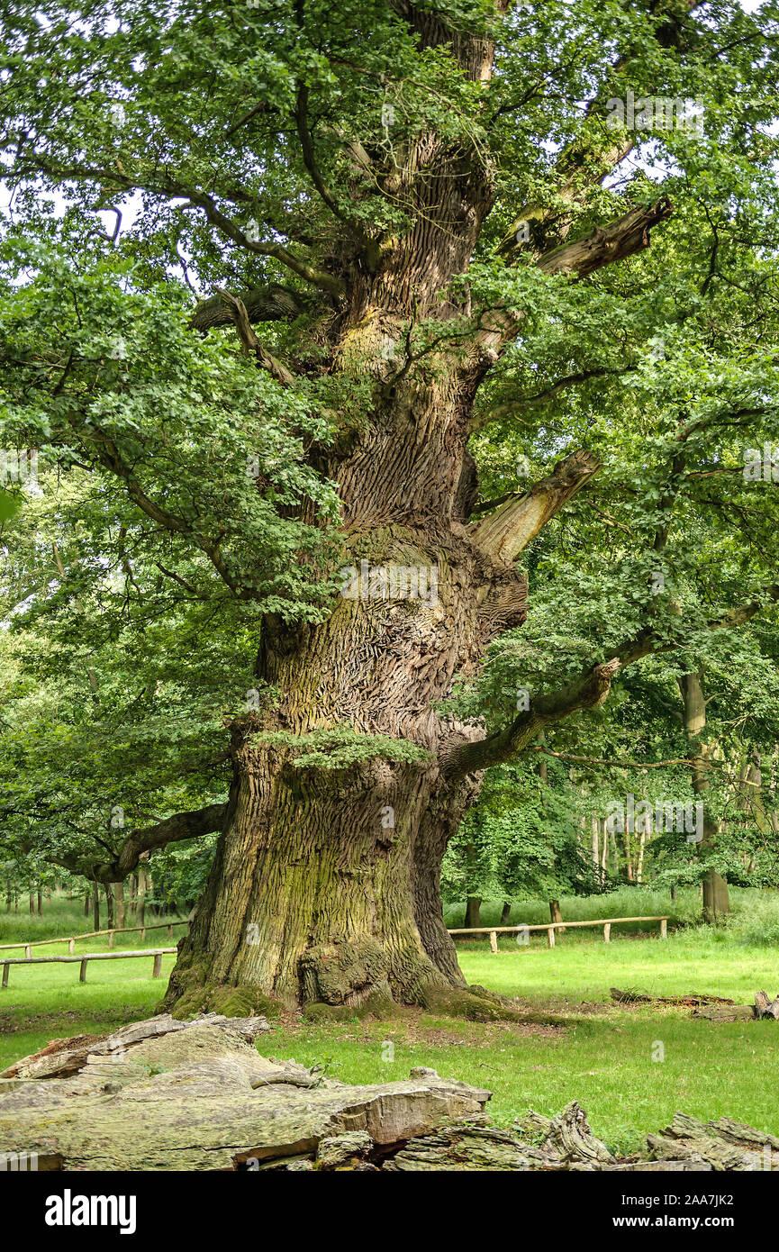 Ivenacker Eichen, Stiel-Eiche  (Quercus robur) Stock Photo