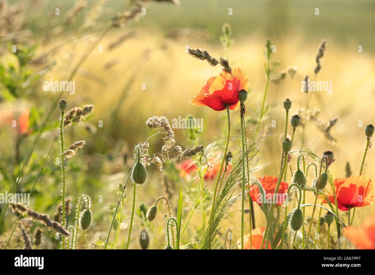 Poppy in the field in the morning. Stock Photo