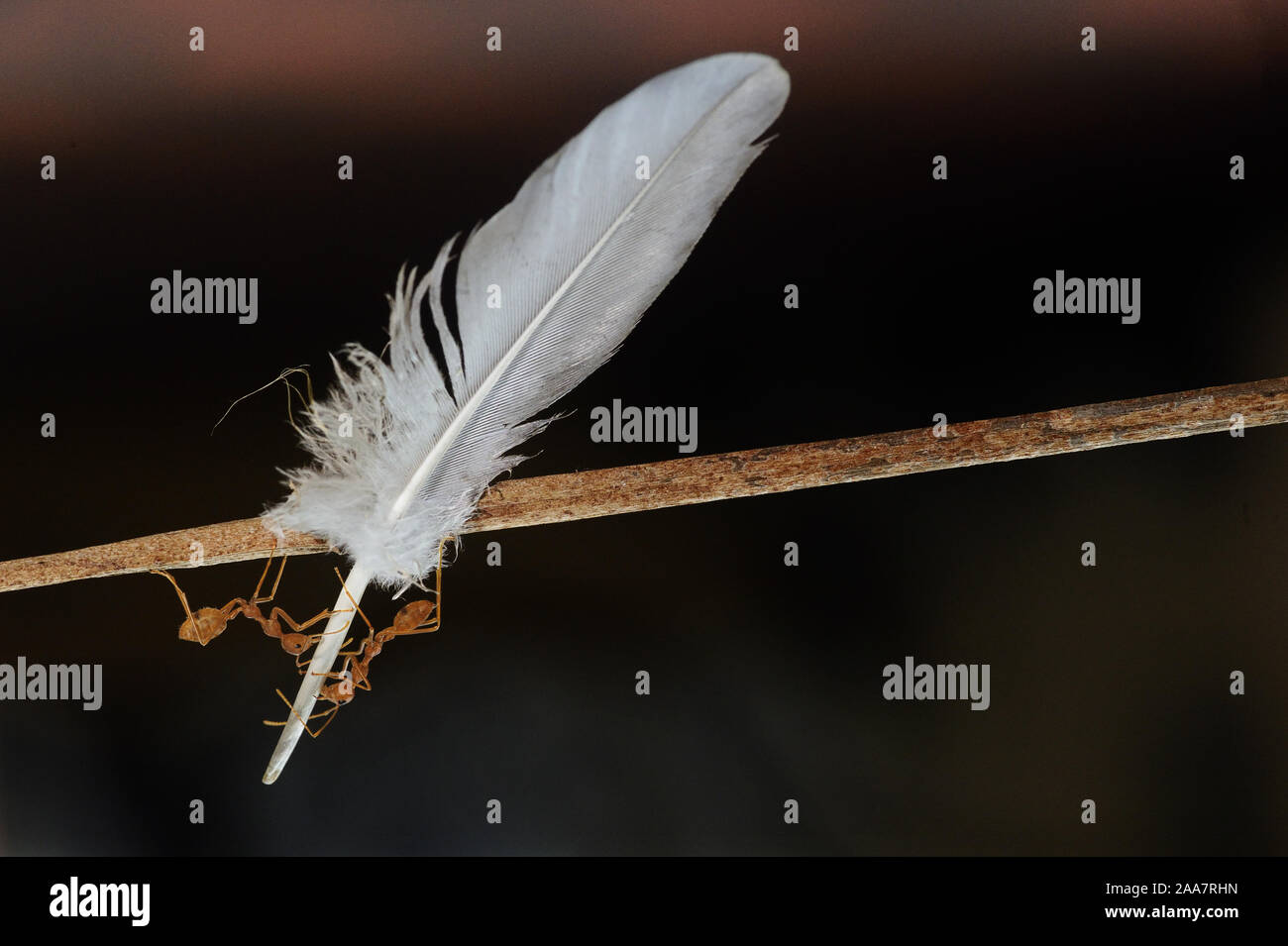Weaver ants, green ants, green tree ants, and orange gaster (Oecophylla smaragdina)-two ants carrying a fallen feather of a bird through a twig to its Stock Photo