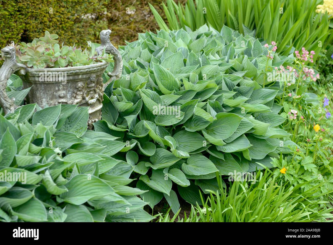 Funkie hyacinthina-Hosta fortunei