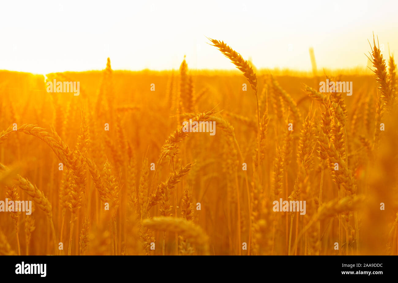 Ears Of Bread At Sunset Wheat Field In The Sun Beautiful Nature