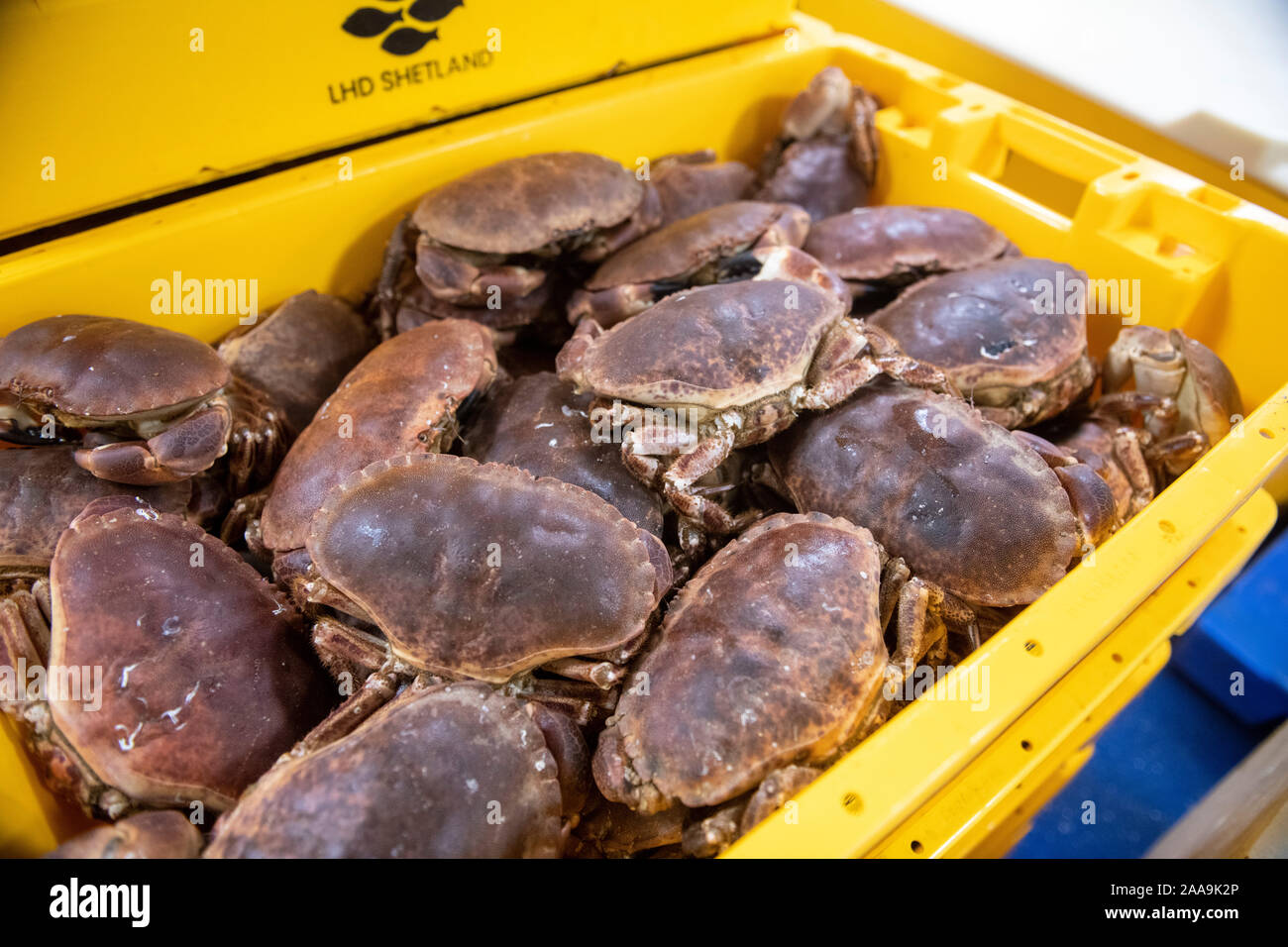 Edible crabs in fish boxes ready for transport to the open market in a factory in Shetland Stock Photo