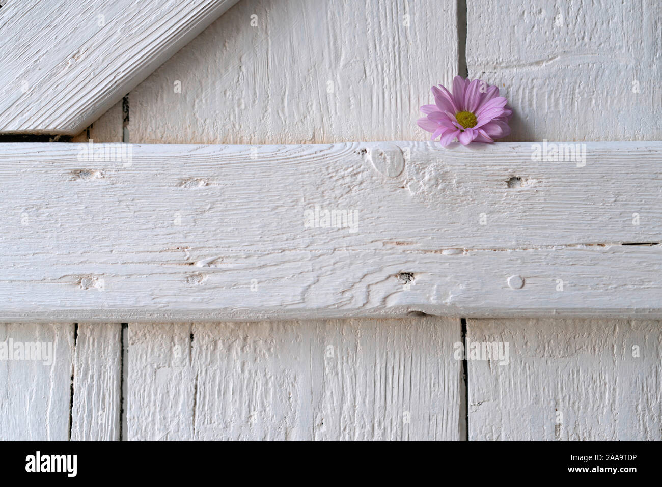 Single Pink Aster On A White Wooden Shutter Indoors Stock