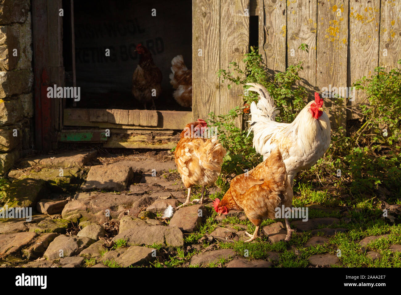 Chickens In Local Poultry Farm High Resolution Stock Photography And Images Alamy