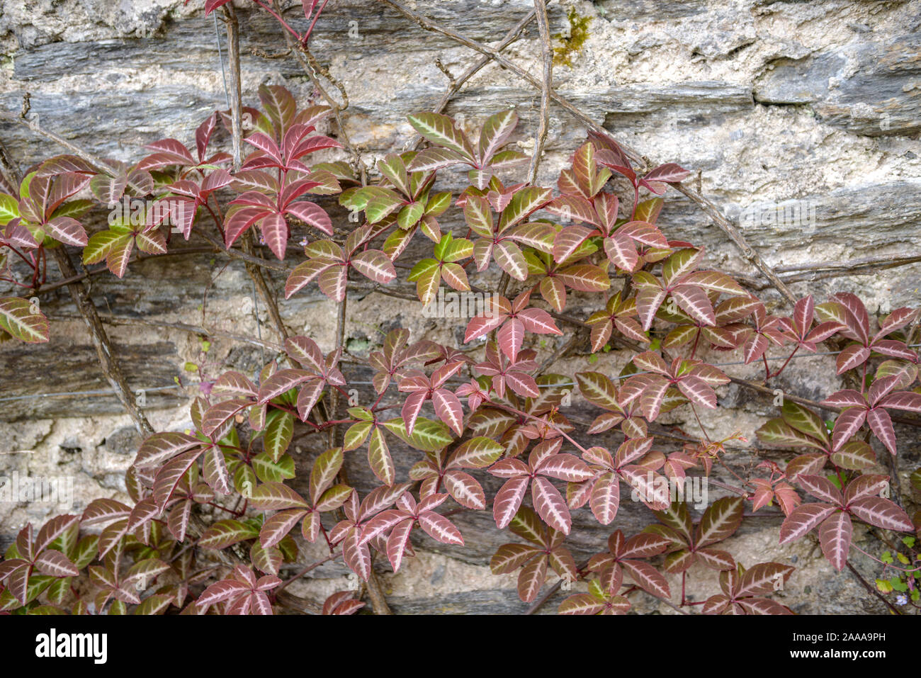 Blue Fruits Silvery Veins on Leaves Chinese Virginia Creeper or SILVERVEIN Creeper Parthenocissus henryana Climber Autumn Colours
