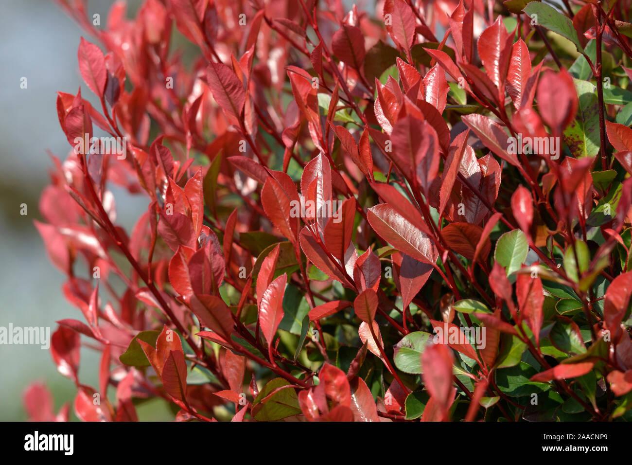 Glanzmispel (Photinia × fraseri 'Little Red Robin') Stock Photo