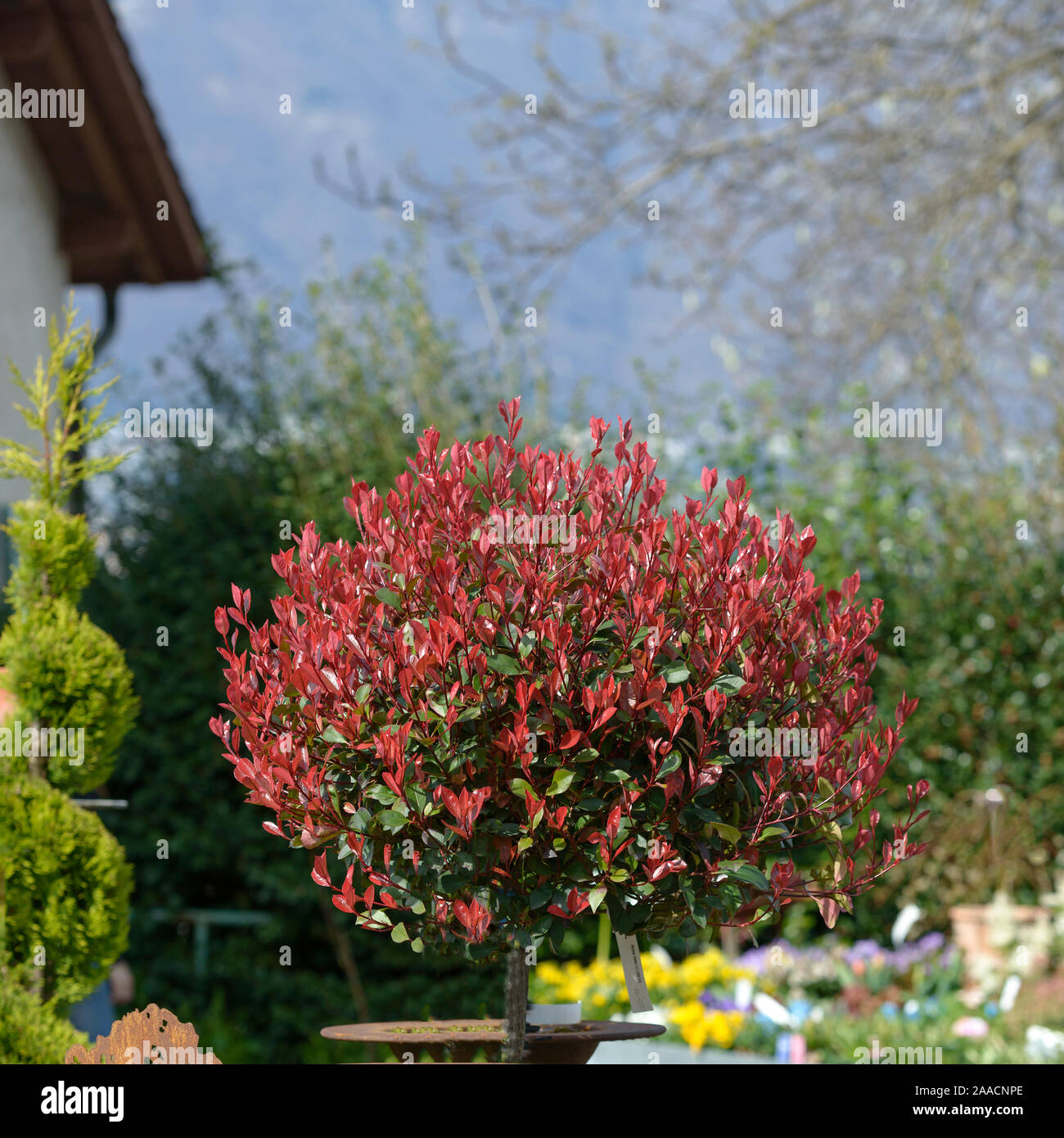 Glanzmispel (Photinia × fraseri 'Little Red Robin') Stock Photo