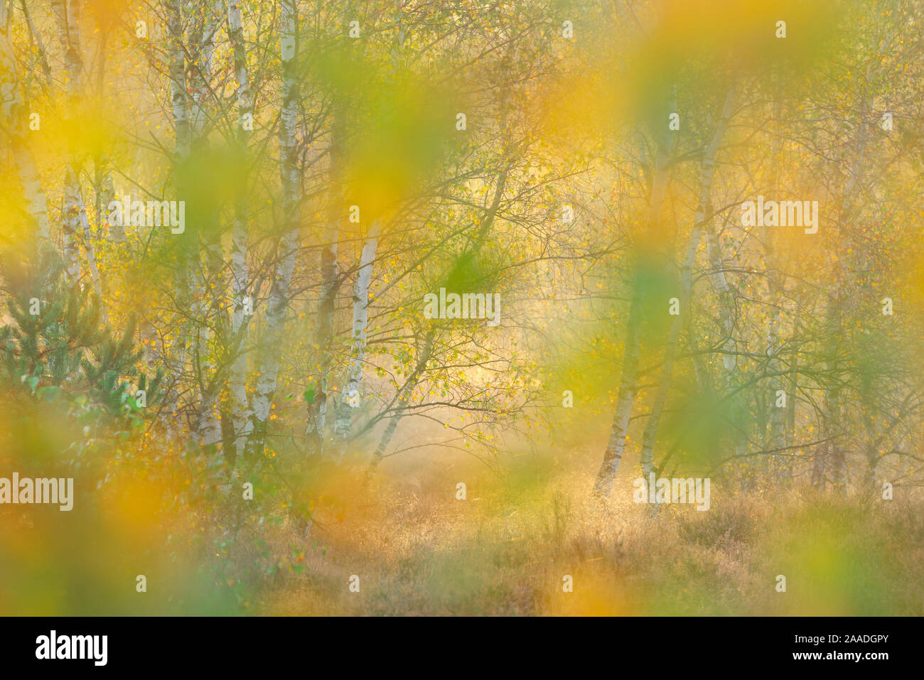 Silver birch (Betula pendula) woodland abstract soft focus  in autumn, on  former military training area, Loeffelberg, Nuthe-Nieplitz natural reserve, Brandenburg, Germany, October. Stock Photo