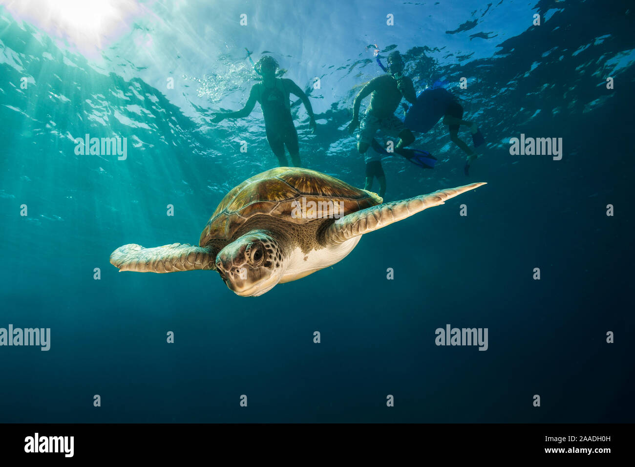 Green turtle (Chelonia mydas) swimming with snorkelers in the background, Canary Islands, Spain, July. Stock Photo