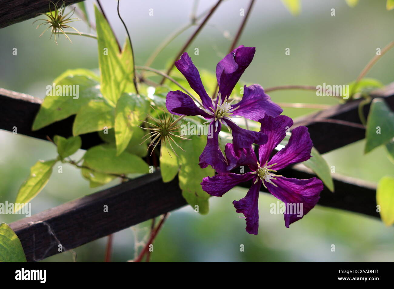 Clematis Or Leather Flower Easy Care Perennial Vine Plants Open