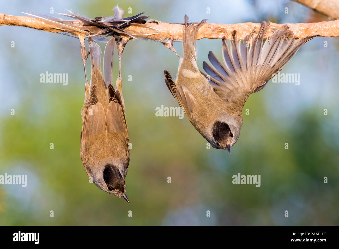 Eurasian blackcaps (Sylvia atricapilla) caught on limed stick, Cyprus. Finalist in The Wildlife Photojournalist Award: Single Image Category of the Wildlife Photographer of  the Year Awards (WPOY) Competition 2017. Stock Photo