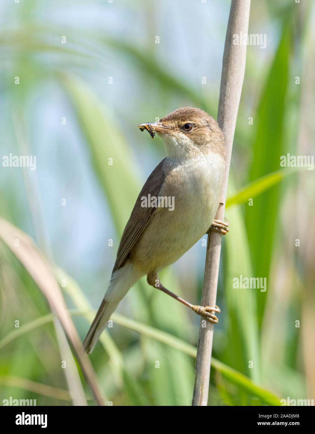 Reed Warbler Acrocephalus Scirpaceus With Insect Larvae In Beak Greylake Rspb Reserve Somerset Levels England Uk June Stock Photo Alamy