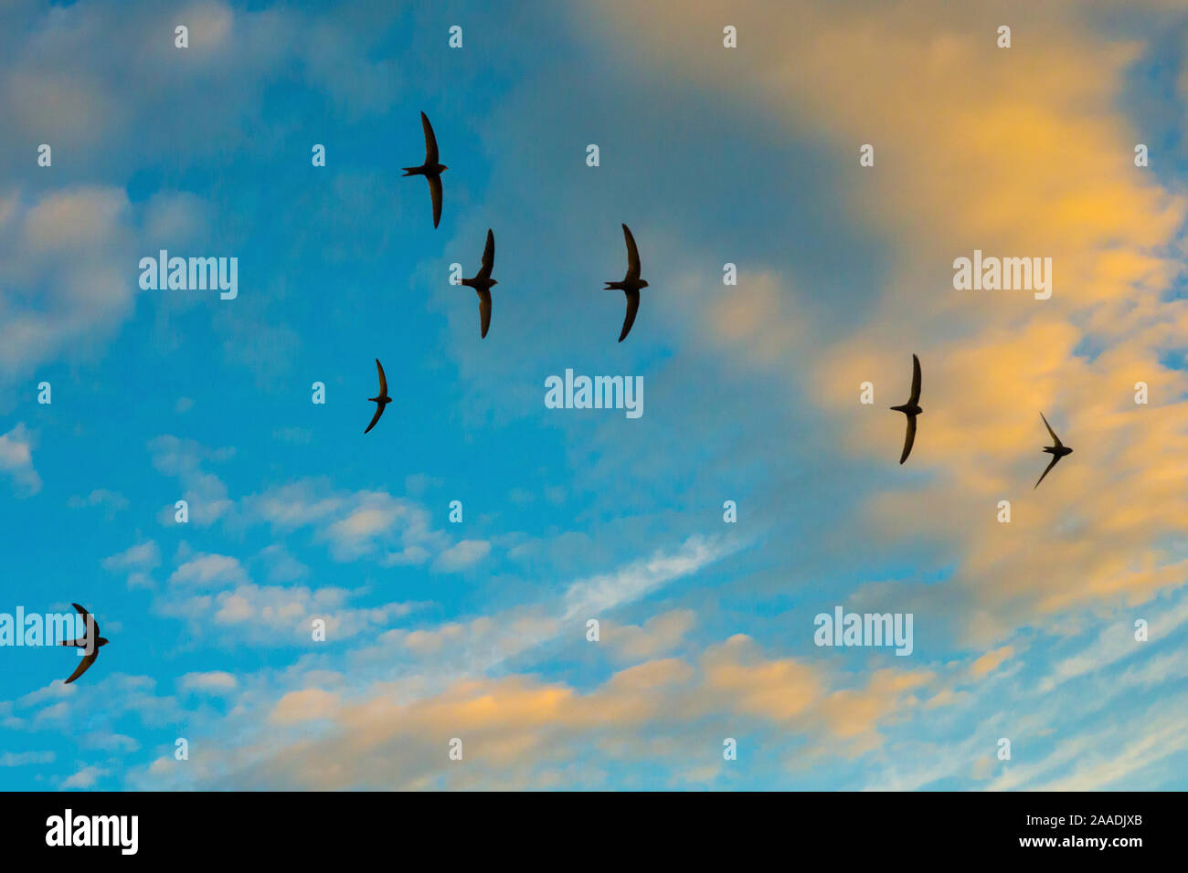 Swift (Apus apus) flock screaming  in flight against blue sky and clouds, Monmouthshire, Wales, UK, July. Stock Photo