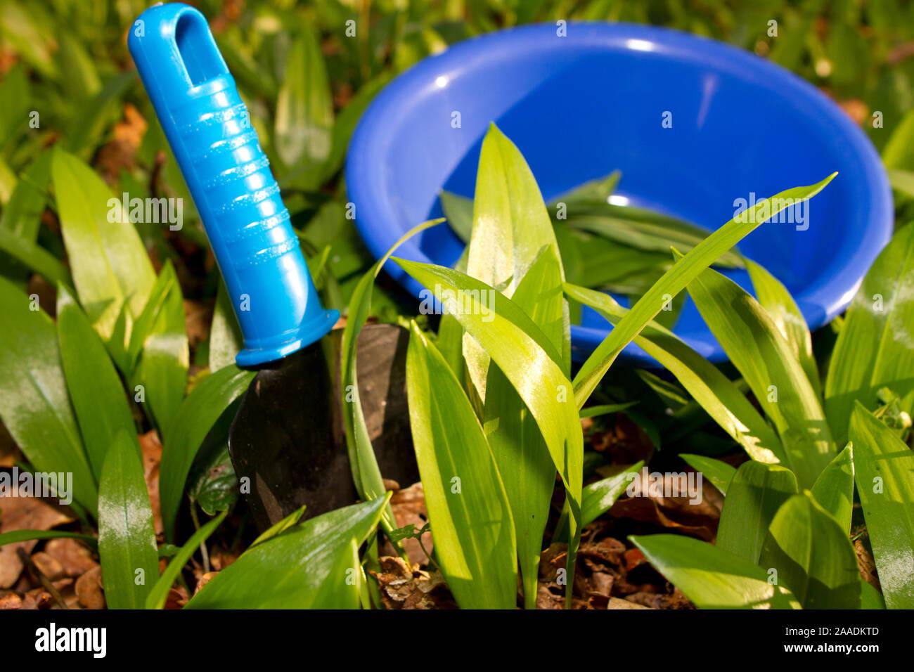 Bärlauch ausstechen, Allium ursinum Stock Photo