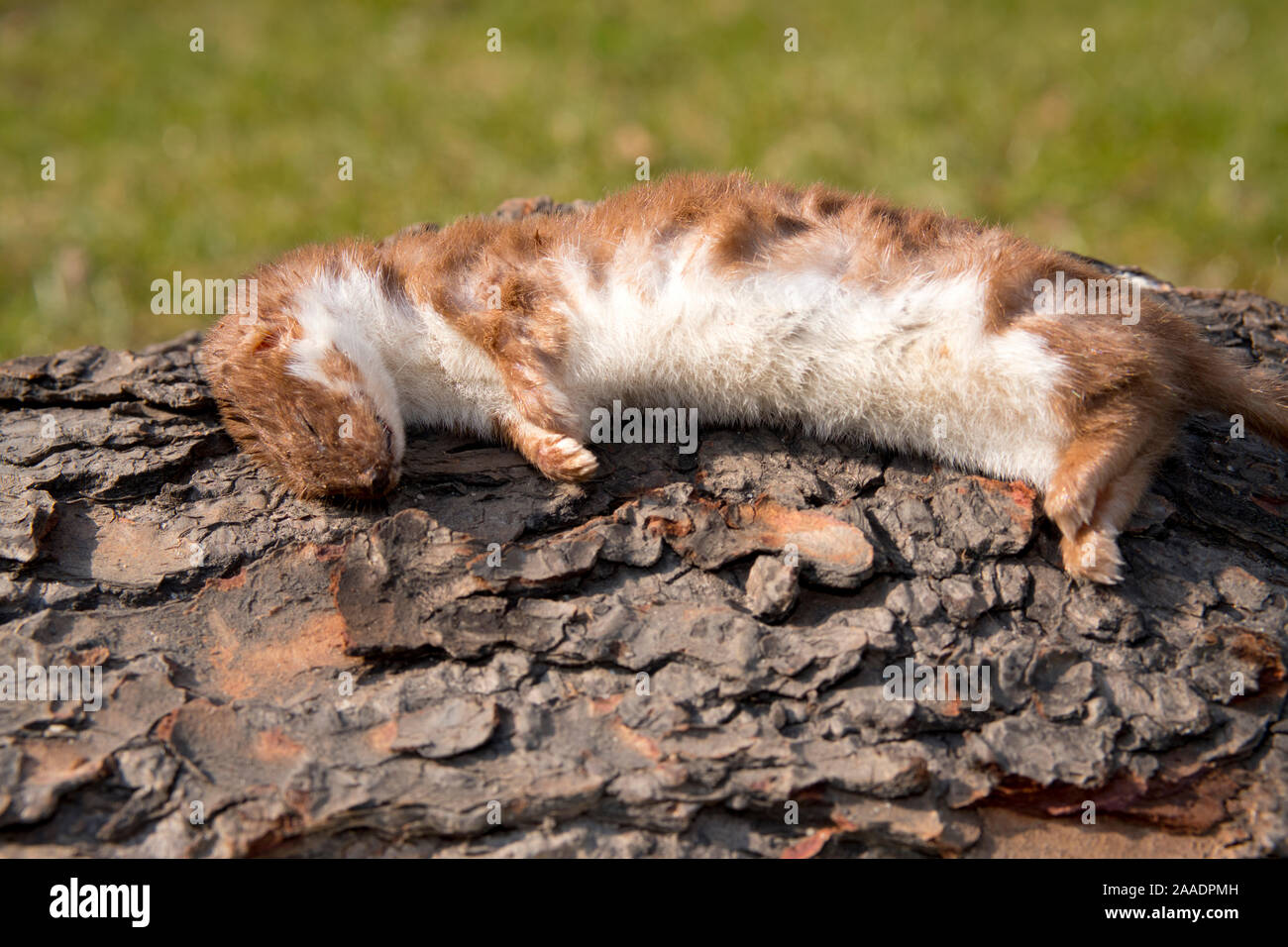totes Mauswiesel, Mustela nivalis, Überfamilie Hundeartige (Canoidea), Marderverwandte (Musteloidea), Familie Marder (Mustelidae), Unterfamilie Mustel Stock Photo