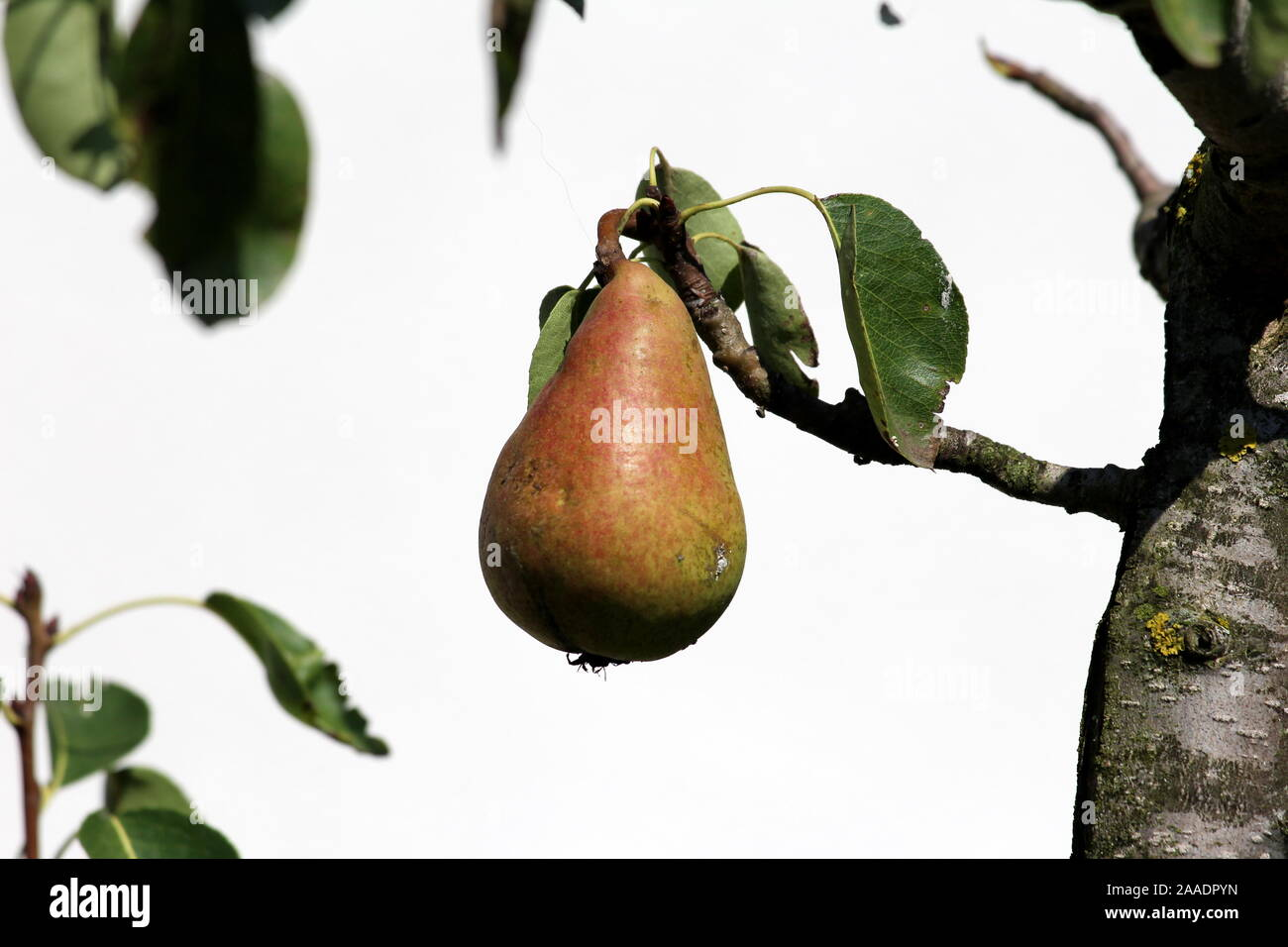Single fully ripe pear ready for picking growing from small branch surrounded with few green leaves in local home garden in front of family house wall Stock Photo