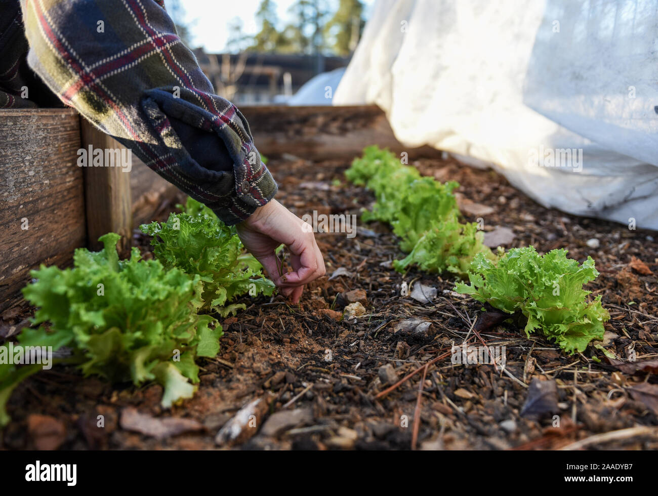 Winter gardening photos in a local garden focused on sustainability and food security in the community. Stock Photo