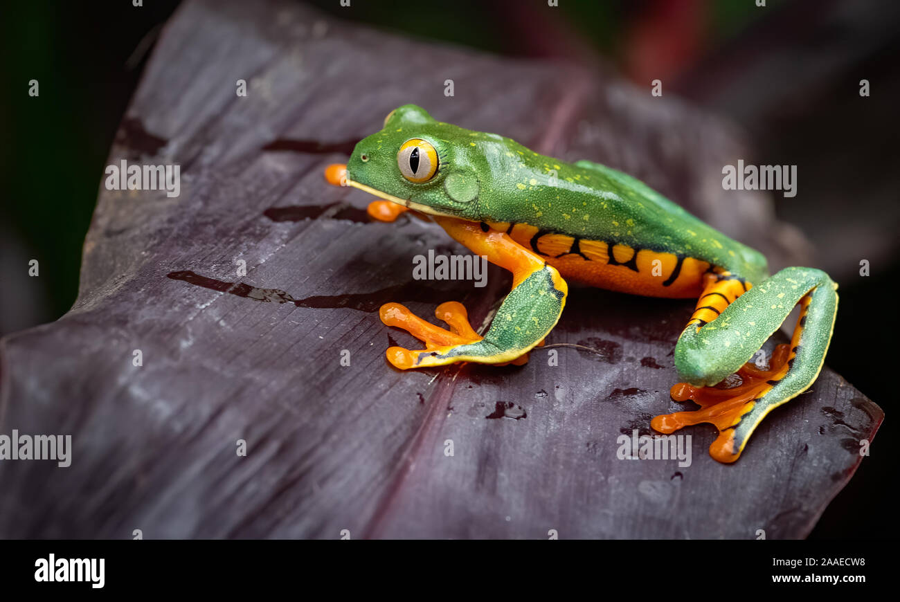 A tree frog in Costa Rica Stock Photo