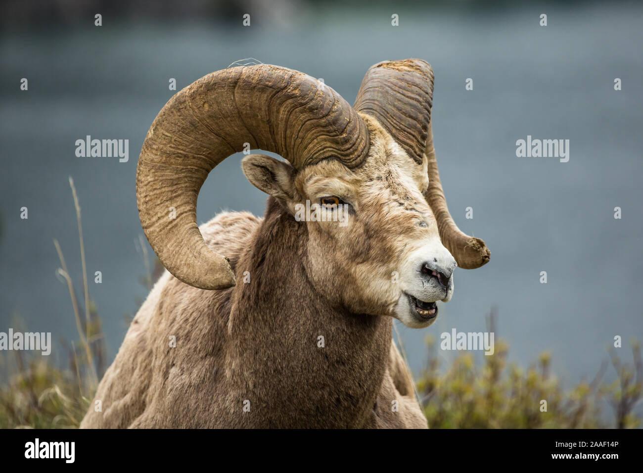Game Hunter Big Horn Sheep Ram Mountain Goat Bronze Wall Statue Signed Figure