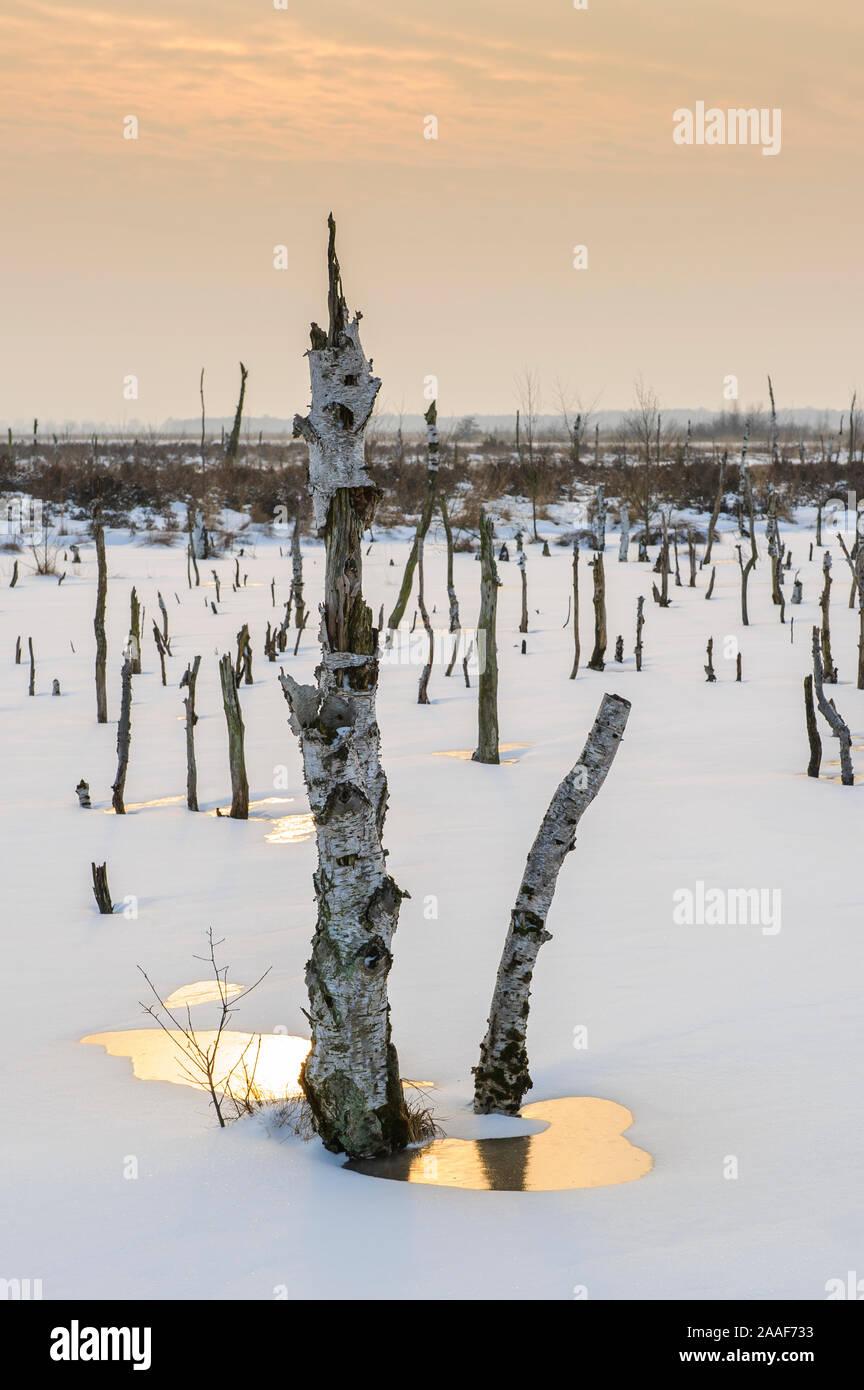Birke, Diepholzer Moor, Totholz, Stock Photo
